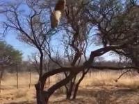 Kocur na polowaniu