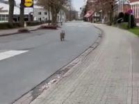 Wilk sobie chodzi w środku miasta gdzieś w Niemczech
