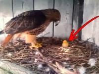 Rolnik umieścił kurze jajo pod orłem. To stało się później