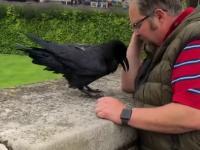 Zaprzyjaźniona wrona