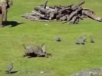 słonik na polowaniu