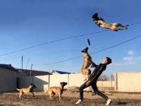 Belgian Malinois Dog: The Best Malinois dog jumping and climbing wall video 2021