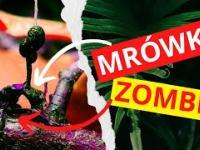 Grzyb, który zmienia mrówki w zombie