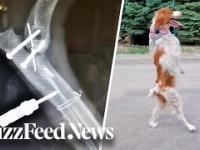 Pies, który chodzi na dwóch łapach