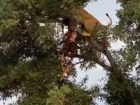 Lwica i lampart spadają z drzewa