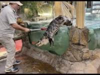 Aligator ucieka w czasie karmienia