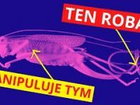 Przez robaka w brzuchu, pasikonik popełnia samobójstwo