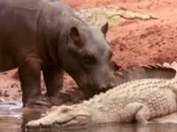 Niewypowiedziany szacunek między hipopotamami i krokodylami