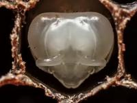 Od stadium larwy do pszczoły