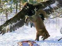 ORZEŁ PRZEDNI to drapieżnik, który atakuje nawet wilki!