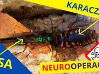 Toksyczna neurochirurgia osy na otumanionym karaczanie