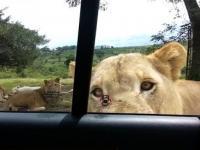 Lew otwiera drzwi samochodu