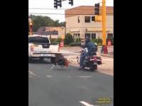 Wściekły indyk rycerz atakuje motocyklistę