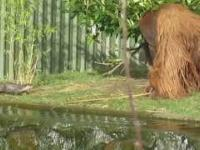 Orangutan przegania kijem wydry