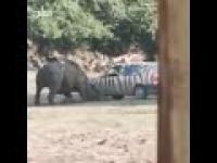 Nosorozec taranuje samochod