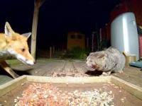 Lisek próbuje się zakraść do kociej kolacji