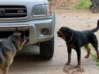 Agresywny rottweiler i alpha owczarek niemiecki