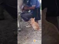 Kot błaga o mleko