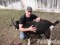 Jak odwrócić kozę i dlaczego?