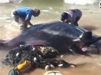 Ratowanie olbrzymiej płaszczki uwięzionej na plaży.