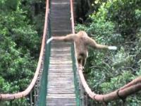 Gibbon on the Monkeyland bridge
