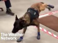 Pies policyjny w nowych butach