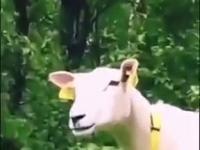 Mistrzowska riposta owcy