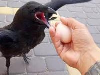 Dziki kruk - jak oswojony kolega - Przylatuje do mnie na śniadania