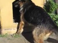 Pies ma mały problem z dużym kijem w swojej budzie