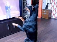 Pies naśladuje Michaela Jacksona. Robi też moonwalk