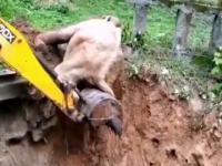 Pomogli słoniowi wyjść z wykopu