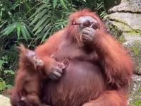 Tego jeszcze nie było, orangutan w okularach