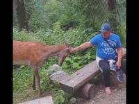 Turyści drażnią jelenia na drodze do Morskiego Oka