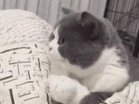 Kot strzelił focha
