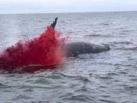 Eksplodujący wieloryb