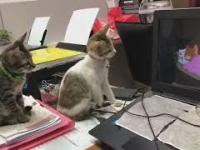 Dwa małe koty oglądają bajkę Tom & Jerry