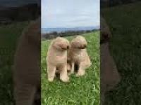 Dwa psy i silny wiatr