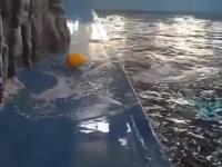 Wieloryb Beluga odzyskuje zabawkę