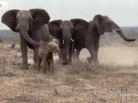 Stado uratowanych słoni przyjmuje małą albinoskę słonicę uwolnioną z sideł