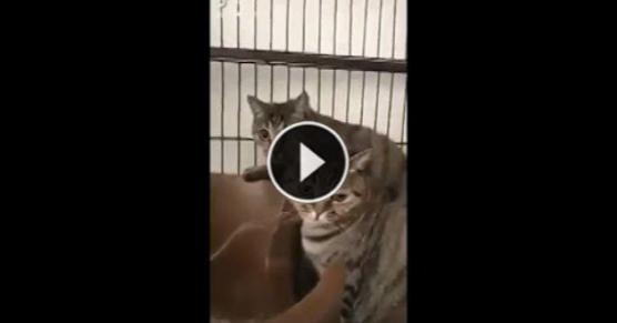 Jak Koty Reagują Na Dźwięk Grzebienia Milanospl